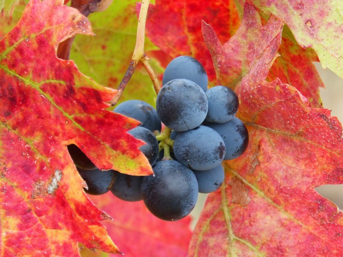 grape-1783250_1920