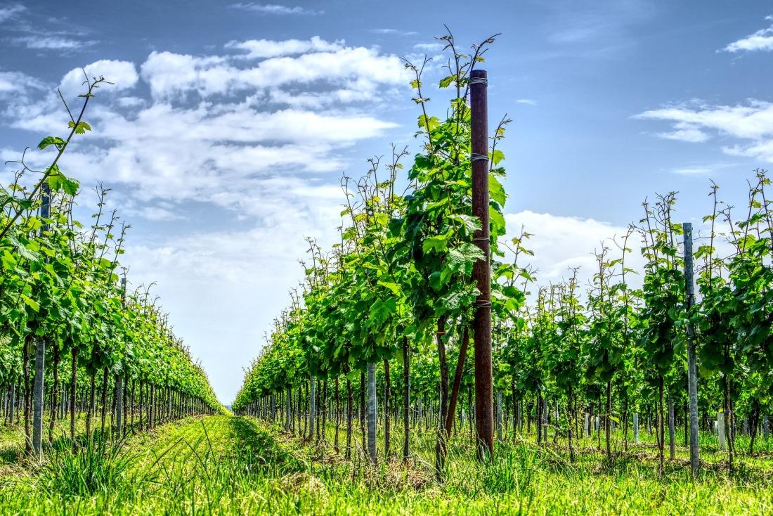 vineyard-3442847_1920